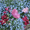 fleurstulipesmyosotis